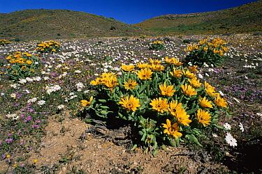Desert in flower, Richtenveld NP, South Africa  -  Claudio Velasquez/ npl