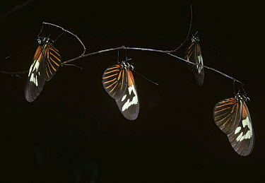 Red or small postman butterfly (Heliconius erato) males at their communal roost at night in Amazonian rainforest, Brazil  -  Premaphotos/ npl