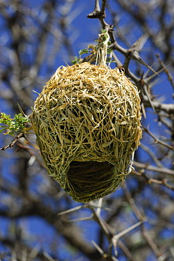 Masked-Weaver (Ploceus velatus), Kgalagadi Transfrontier Park, Kalahari desert, South Africa  -  Jouan & Rius/ npl