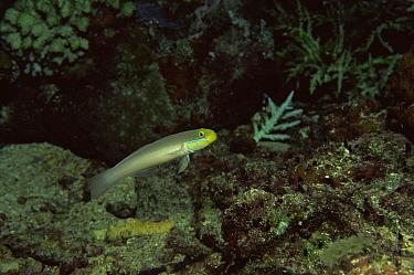 Blue band goby (Valenciennea strigata) Solomon Islands, South Pacific  -  Brent Hedges/ npl