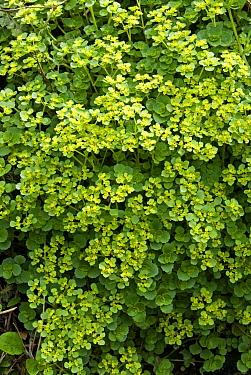 Opposite Leaved Golden Saxifrage (Chrysoplenium oppositifolium) Devon, UK  -  Adrian Davies/ npl