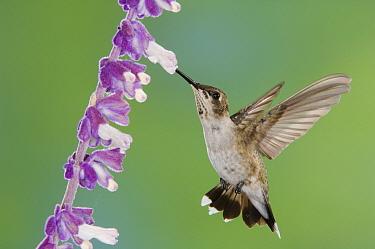 Black-chinned Hummingbird (Archilochus alexandri) immature male feeding on Mexican Bush Sage(Salvia leucantha) Tuscon, Arizona  -  Rolf Nussbaumer/ npl
