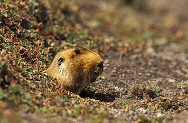 Giant mole rat (Tachyoryctes macrocephalus) emerging from burrow, Bale mountains Ethiopia  -  Andrew Harrington/ npl