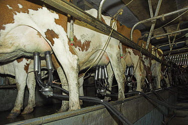Ayrshire cows (Bos taurus) being milked in the dairy, UK  -  Colin Seddon/ npl