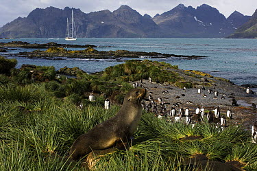 An adult fur seal (Arctocephalus gazella) in the grass tussock and a group of gentoo penguins (Pygoscelis papua) on the shoreline, with SY Adele anchored in the distance Prion Island, South Georgia, F...  -  Rick Tomlinson/ npl
