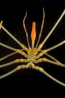 Deepsea benthic sea spider (Colossendeis sp), deep sea Atlantic ocean  -  David Shale/ npl