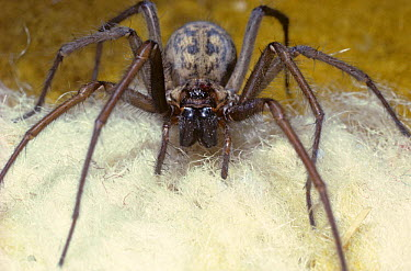 Cobweb spider (Tegenaria duellica) female on carpet in house, UK  -  Premaphotos/ npl