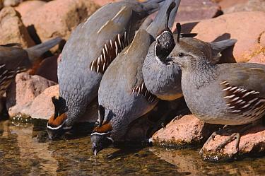 Gambel's Quail (Lophortyx, Callipepla gambelii) three males and a female drinking, Tuscon, Arizona, USA  -  Rolf Nussbaumer/ npl