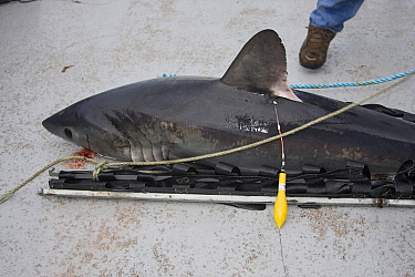 Porbeagle shark (Lamna nasus) with Xeos satellite tag attached, ready to be released for tracking in the Bay of Fundy, New Brunswick, Canada 2008  -  Doug Perrine/ npl