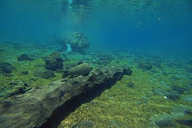 Hippopotamus (Hippopotamus amphibius) swimming underwater Mzima Springs, Kenya  -  John Downer/ npl