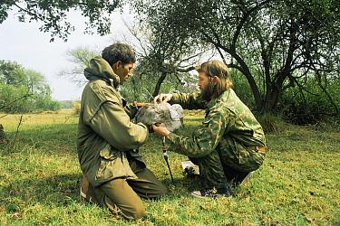 Common Crane (Grus grus)Researchers fit radio transmitter to crane, Keoladeo Ghana National Park, Bharatpur, Rajasthan, India  -  Jean-pierre Zwaenepoel/ npl