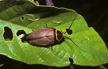 Cockroach (Ellipsidion sp) in Eucalyptus forest, Queensland, Australia  -  Premaphotos/ npl