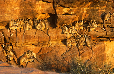 Hanuman langur (Presbytis entellus) group sunning on rocks, Thar desert, Rajasthan, India  -  Jean-pierre Zwaenepoel/ npl