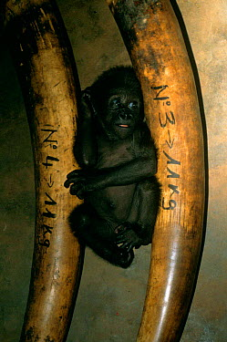 Baby Western lowland gorilla (Gorilla g gorilla), victim of the illegal bushmeat and pet trades, with smuggled ivory, Central Africa After shooting an adult gorilla, bushmeat hunters capture the babie...  -  Karl Ammann/ npl