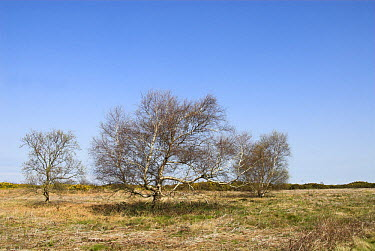 Birch trees (betula pendula) growing on coastal heathland norfolk, UK, April  -  Gary K. Smith/ npl