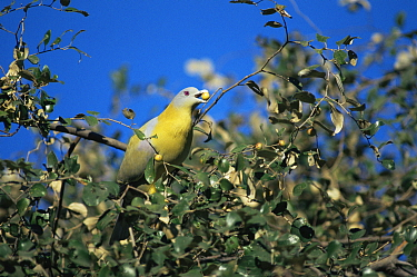 Yellow legged green pigeon (Treron phoenicoptera) feeding on berries Ranthambore NP, Rajasthan, India  -  Bernard Castelein/ npl