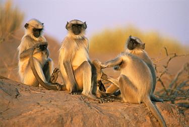 Hanuman langur (Presbytis entellus) group grooming, India  -  Jean-pierre Zwaenepoel/ npl
