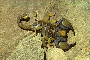 African Yellow Leg Scorpion (Opistophthalmus carinatus) in desert, South Africa  -  Premaphotos/ npl