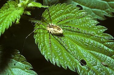 Harvestman (Mitopus morio), United Kingdom  -  Premaphotos/ npl