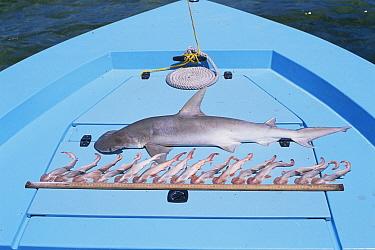 Dead female Bonnethead shark with foetuses removed from body (Sphyrna tiburo) FL, USA  -  Doug Perrine/ npl