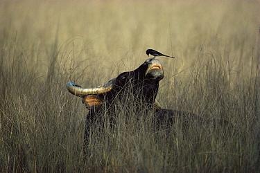 Gaur (Bos gaurus) endangered, with Black drongo (Dicrurus adsimilis) on nose Bandhavgarh National Park, Madhya Pradesh, India  -  Jean-pierre Zwaenepoel/ npl