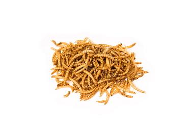 Yellow Mealworm (Tenebrio molitor) dried for wild bird food  -  Gary K. Smith/ npl