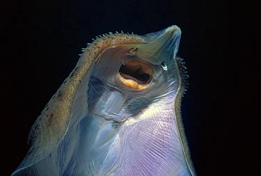 Little Skate (Raja erinacea) mouth Maryland, USA, Atlantic Ocean  -  Jeff Rotman/ npl