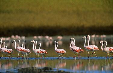 Chilean Flamingo (Phoenicopterus chilensis) La Pampa, Argentina  -  Gabriel Rojo/ npl