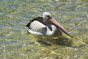 Australian Pelican (Pelecanus conspicillatus) on water, Nelson Bay, NSW, Australia  -  Brent Hedges/ npl