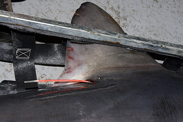 Dorsal fin of Porbeagle shark (Lamna nasus) with spaghetti tag inserted from University of New Brunswick, Canadian Shark Conservation Society research program, New Brunswick, Bay of Fundy, Canada 2008  -  Doug Perrine/ npl