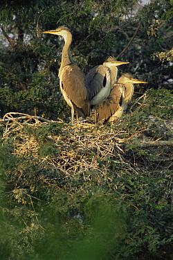 Grey Heron (Ardea cinerea) fledglings in nest, Keoladeo Ghana National Park, Bharatpur, Rajasthan, India  -  Jean-pierre Zwaenepoel/ npl
