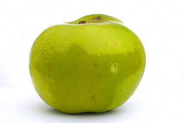 Ripe Apple, Bramley cooking variety  -  Adam White/ npl