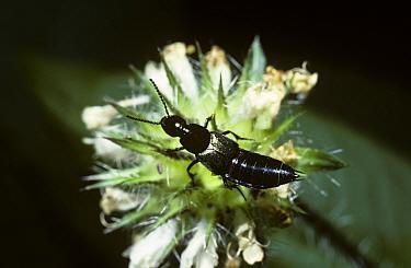 Rove beetle (Philonthus fuscipennis) UK  -  Premaphotos/ npl