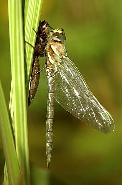 Southern Hawker Dragonfly (Aeshna cyanea) newly emerged from nymph case Cornwall, United Kingdom  -  Ross Hoddinott/ npl