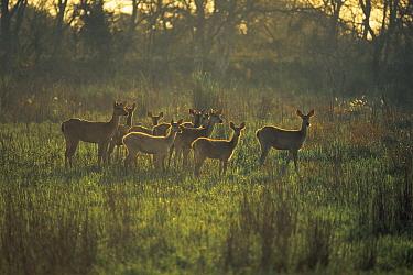 Barasingha (Cervus duvauceli) Kaziranga National Park, Assam, India  -  Jean-pierre Zwaenepoel/ npl