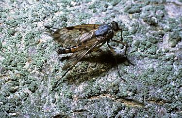 Mottle-winged snipe fly, downlooker fly (Rhagio scolopacea) on the bark of a tree, UK  -  Premaphotos/ npl