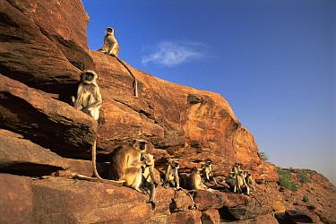 Hanuman langur (Presbytis entellus) group sunning, Thar desert, Rajasthan, India  -  Jean-pierre Zwaenepoel/ npl