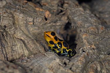 Red Imitator Poison Dart Frog (Dendrobates imitator intermedius) captive, from Peru, South America  -  Michael D. Kern/ npl