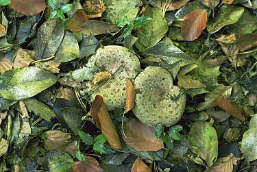 Mushroom (Lactarius sp) amongst leaf litter, United Kingdom  -  George Mccarthy/ npl