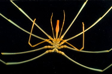 Deepsea benthic sea spider (Colossendeis sp), deep sea Atlantic ocean  -  David Shale/ npl