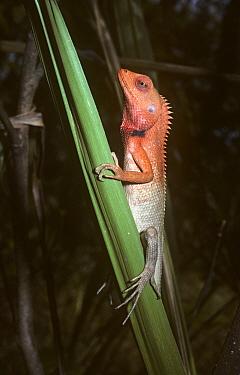 Changeable Lizard (Calotes versicolor) male in breeding colours, Nepal  -  Premaphotos/ npl