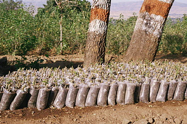 Mulberry trees ready to be planted as host food plant for the Silkworm moth (Bombyx mori) Khadi and Village Industries Commission (KVIC), Mahabaleshwar, Andhra Pradesh, India  -  John B Free/ npl