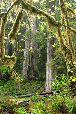 Coastal Giant Redwood forest (Sequoia sempervirens) with moss covered twigs in foreground, Prairie Creek Redwoods State Park, California, USA  -  Michael Hutchinson/ npl