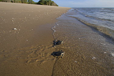 Australian flatback sea turtle hatchlings (Natator depressus) from captive release programme, reach the sea after crawling down beach from nest, Crab Island, Torres Strait, Queensland, Australia  -  Doug Perrine/ npl