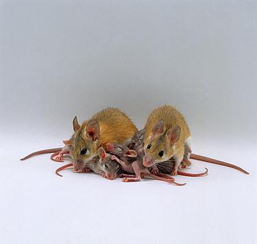 Arabian Spiny Mice (Acomys dimidiatus) pair with their 3 day old babies  -  Jane Burton/ npl
