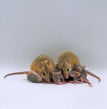 Arabian Spiny Mice (Acomys dimidiatus) with their 3 day old young  -  Jane Burton/ npl