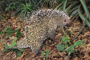 Brazilian Porcupine (Coendou prehensilis) Gran Chaco National Park, Bolivia  -  Luiz Claudio Marigo/ npl
