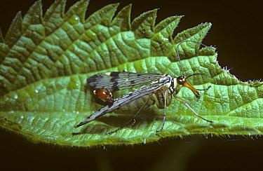 Common Scorpion Fly (Panorpa communis) male, United Kingdom  -  Premaphotos/ npl