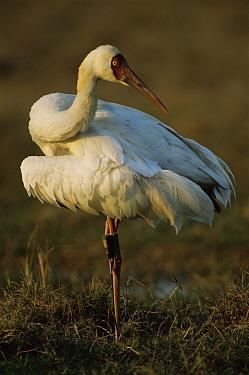 Siberian Crane (Grus leucogeranus) endangered, captive reared and released with radio transmitter, Keoladeo Ghana National Park, Bharatpur, Rajasthan, India  -  Jean-pierre Zwaenepoel/ npl