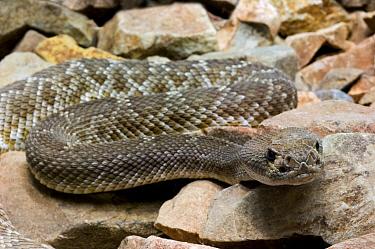 Red Rattlesnake (Crotalus ruber) portrait Arizona  -  Philippe Clement/ npl